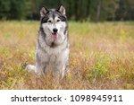 Dog Breed Alaskan Malamute...