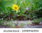 closeup of a single yellow...   Shutterstock . vector #1098946904