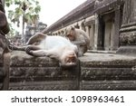 monkey mother is laying down... | Shutterstock . vector #1098963461