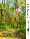 The road through the pine forest in the morning sun - stock photo