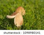 Mushrooms And Dew