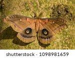 polyphemus moth   antheraea... | Shutterstock . vector #1098981659