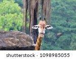 giraffe  giraffa camelopardalis ...   Shutterstock . vector #1098985055