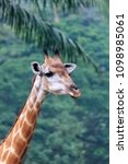 giraffe  giraffa camelopardalis ...   Shutterstock . vector #1098985061