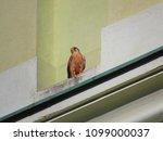 common kestrel  falco...   Shutterstock . vector #1099000037