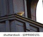 common kestrel  falco...   Shutterstock . vector #1099000151
