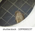 common kestrel  falco...   Shutterstock . vector #1099000157