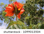 flower on a tree  african tulip. | Shutterstock . vector #1099013504