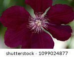 close up of of pink clematis... | Shutterstock . vector #1099024877