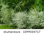 flowering cherry trees in a... | Shutterstock . vector #1099034717