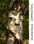 Small photo of Close Up Of Tree Birch (Betula) In Shadow Growing In Garden Outdoor In Sunny Day In Summer.