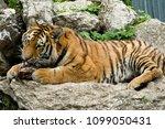 tiger  panthera tigris  | Shutterstock . vector #1099050431
