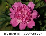 close up of pink peony  paeony  ... | Shutterstock . vector #1099055837