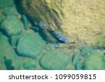 fish swimming in pond | Shutterstock . vector #1099059815