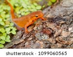 red spotted newt crawling out... | Shutterstock . vector #1099060565