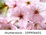 Freshly Bloomed Cherry Tree On...