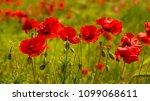 summer sunset at red field of... | Shutterstock . vector #1099068611