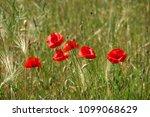 summer sunset at red field of... | Shutterstock . vector #1099068629