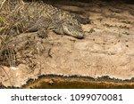 wildlife  crocodile in natural... | Shutterstock . vector #1099070081