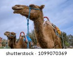 camels in they natural... | Shutterstock . vector #1099070369