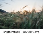 tall grass field as the sunset... | Shutterstock . vector #1099093595