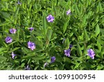 flower meadow in a tropical... | Shutterstock . vector #1099100954