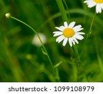 daisy flower  bellis perennis ... | Shutterstock . vector #1099108979