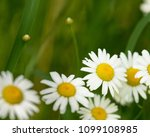 daisy flower  bellis perennis ... | Shutterstock . vector #1099108985