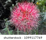 powder puff lily is a name of... | Shutterstock . vector #1099117769