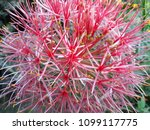 powder puff lily is a name of... | Shutterstock . vector #1099117775