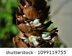 seeds of the costus spicatus on ... | Shutterstock . vector #1099119755