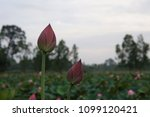 beautiful lotus flowers or lily ... | Shutterstock . vector #1099120421