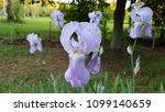purple iris patch   Shutterstock . vector #1099140659