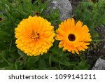 two different yellow blossoms...   Shutterstock . vector #1099141211