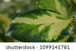 yellow and green leaf macro   Shutterstock . vector #1099141781