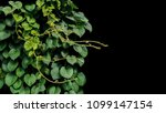 heart shaped green leaf of... | Shutterstock . vector #1099147154