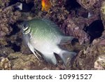 Small photo of pale damselfish (amblyglyphidodon indicus)