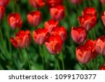 red tulips on a sunny summer... | Shutterstock . vector #1099170377