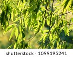 detail weeping willow fringed... | Shutterstock . vector #1099195241