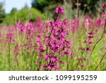 close up of a little violet... | Shutterstock . vector #1099195259