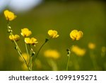 close up of a little yellow... | Shutterstock . vector #1099195271
