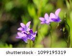 close up of a little blue flower   Shutterstock . vector #1099195319