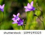 close up of a little blue flower   Shutterstock . vector #1099195325