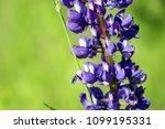 lupinus  lupin  lupine field...   Shutterstock . vector #1099195331