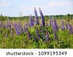 lupinus  lupin  lupine field...   Shutterstock . vector #1099195349