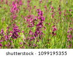 close up of a little violet...   Shutterstock . vector #1099195355