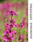 close up of a little violet...   Shutterstock . vector #1099195361