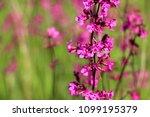 close up of a little violet...   Shutterstock . vector #1099195379