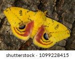 io moth   automeris io ... | Shutterstock . vector #1099228415