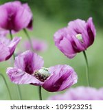 Purple Poppy On A Soft...